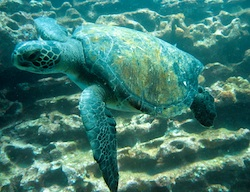 Sea turtle during scuba dive near Isla Tortuga in the Galapagos