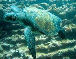 Sea turtle during scuba dive near Isla Tortuga in the Galapagos