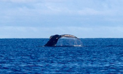 Whale fluke off Niue