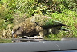 Kea mountain parrot attacking our car